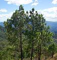 Pinus oocarpa Perkin.jpg