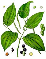 An illustration of the plant that produces black pepper.
