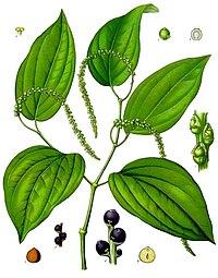Piper nigrum - Köhler–s Medizinal-Pflanzen-107