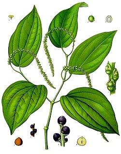 Pimenta Preta Wikipedia A Enciclopedia Livre