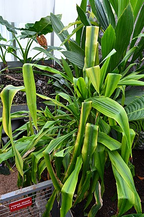 Pitcairnia altensteinii wikimonde - Jardin botanique de lyon ...