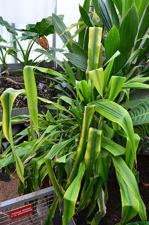 File pitcairnia altensteinii jardin botanique du parc de for Jardin botanique de conception