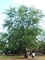 Pithecellobium dulce tree.JPG