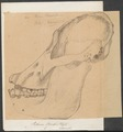 Pithecus brookei - schedel - 1700-1880 - Print - Iconographia Zoologica - Special Collections University of Amsterdam - UBA01 IZ19800082.tif
