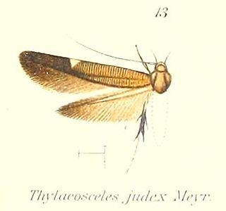 <i>Thylacosceles judex</i> Species of moth