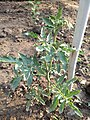Plant in Faridabad home garden.jpg