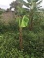 Plantain Plant 001.jpg