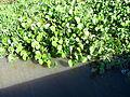 Plantas aquáticas em São Lourenço do Sul 002.JPG