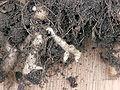 Plasmodiophora brassicae on cauliflower, Knolvoet bij bloemkool (6).jpg