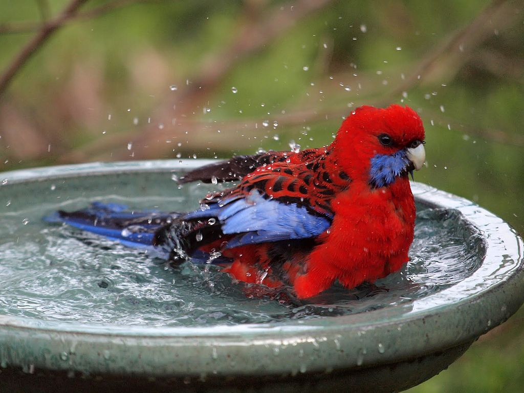 File Platycercus Elegans Canberra Australia Bird Bath 8