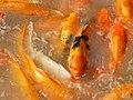 Playing Goldfish.jpg