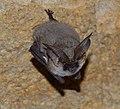 Plecotus austriacus2.jpg