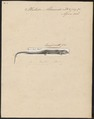 Plestiodon aldrovandi - 1700-1880 - Print - Iconographia Zoologica - Special Collections University of Amsterdam - UBA01 IZ12600003.tif