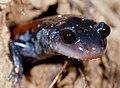 Plethodon yonahlossee (Yonahlossee Salamander) (2285292246).jpg