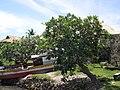 Plumeria obtusa2.jpg