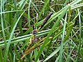 Poales - Carex sp. - 1.jpg