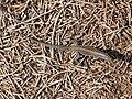 Podarcis filfolensis Linosa 005.jpg