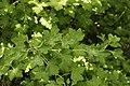 Podosphaera mors-uvae on Gooseberry - Ribes uva-crispa (40344260900).jpg