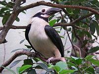 Polillo Tariktik-Hornvogel 2007-05-25 086.jpg
