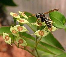 Polistes gallicus visiting Euphorbia genoudiana