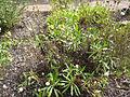 Polycarpaea filifolia.jpg