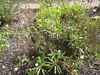 Polycarpaea filifolia