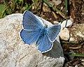 Polyommatus bellargus. Adonis Blue (31552793418).jpg