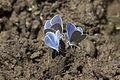Polyommatus firdussii - Firdevs'in çokgözlüsü 08.jpg