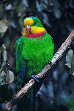 Superb parrot - An adult male at Taronga Zoo, Australia.