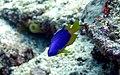 Pomacentrus caeruleus Maldives 2.JPG