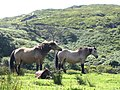 Poneys Connemara.JPG