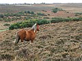 Pony in the heather, Deadman Hill, New Forest - geograph.org.uk - 277148.jpg