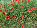 Poppies - geograph.org.uk - 185489.jpg