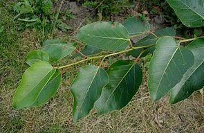 Populus-trichocarpa.JPG