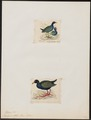 Porphyrio alleni - 1700-1880 - Print - Iconographia Zoologica - Special Collections University of Amsterdam - UBA01 IZ17500177.tif