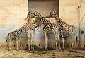 Prague Zoo - giraffas 2.jpg