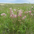 Prairie wildflowers (13778809335).jpg
