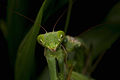 Praying Mantis Mating European-26.jpg