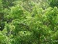 Premna serratifolia taiwanuoksg01.jpg