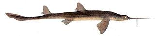 Shortnose sawshark - Image: Pristiophorus nudipinnis Mc Coy
