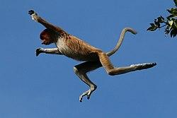 Proboscis monkey (Nasalis larvatus) jumping