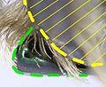 Protaetia affinis mesosternalfortsatz side.jpg
