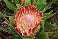Protea (3187486044).jpg