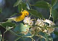 Prothonotary Warbler (15477060028).jpg