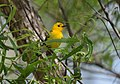 Prothonotary Warbler (34023743703).jpg