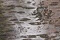 Prunus cerasus Montmorency tree bark 6.jpg