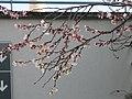 Prunus en fleurs à Noël.jpg