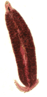 <i>Pseudaxine trachuri</i> Species of worms