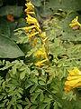 Pseudofumaria lutea01.jpg