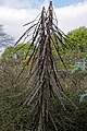 Pseudopanax ferox Toothed lancewood at RHS Garden Hyde Hall, Essex, England.jpg